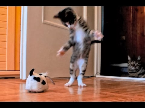 Kitten Versus Robotic Dog Toy & Adult Cat