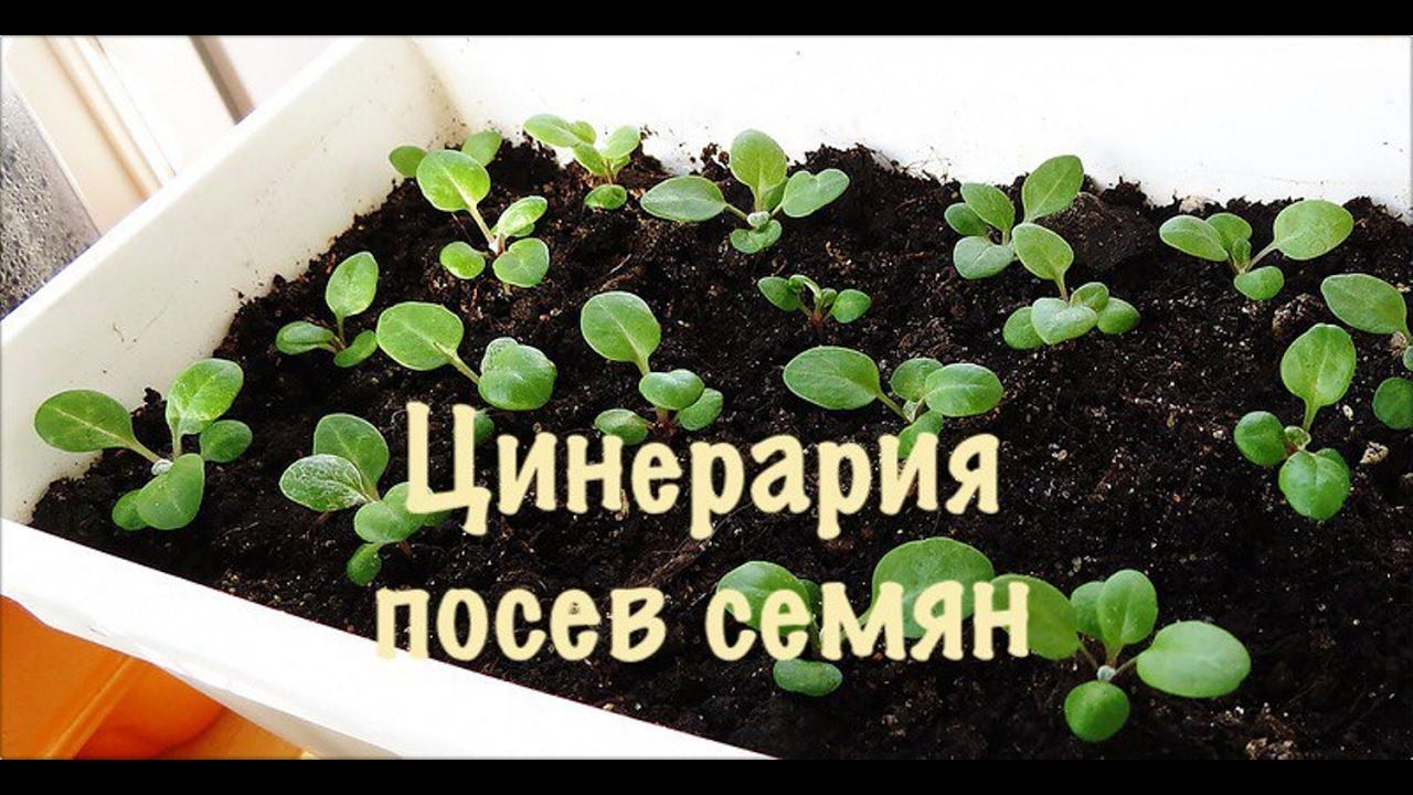 Выращивание цинерарии серебристой из семян 64
