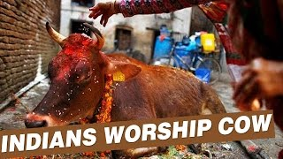 Video: Cows are divine (God-like), calm & non-violent animals, like us Hindus