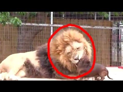 Esse Cachorro entrou na Jaula do Leão. O que Aconteceu Emocionou quem Passava Ali