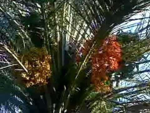 lebat buah kurma bangka