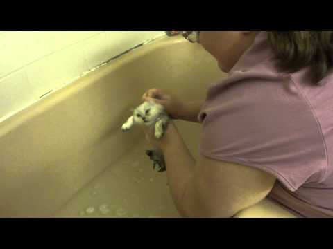 How to Wash a Persian Kitten - Daphnes Dolls Cattery