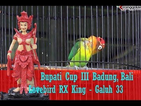 BUPATI CUP 3 BADUNG - Usai Menang, Lovebird RX King Kabarnya Siap Di Lego,Mau Tau Berapa Harganya?