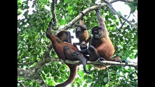 SPIDER MONKEYS IN COSTA RICA