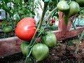 Самые скороспелые томаты из крупноплодных / Результат обработки от кладоспориоза