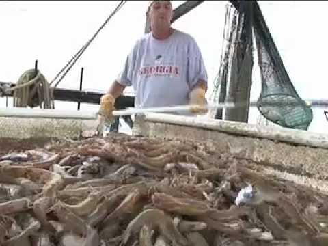 Georgia Shrimp Industry Benefits From Gulf Oil Spill