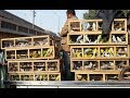 Sunday Birds Market In Karachi Jan 13 2019 mp3