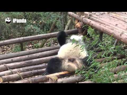 赤ちゃんパンダが自分の足の裏の臭いを嗅いで思わず発狂!