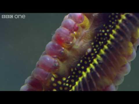 Life - Weedy seadragons dance into the night - BBC One