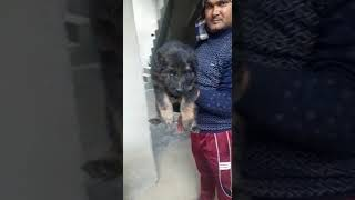 9990272238 gsd puppies for sell whatsapp n call me