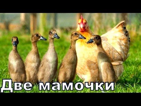 Две Мамочки в Одном Гнезде, Утка и 🐔 Курица высидели утят 🐣!