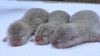 Adorable Rare Baby Otter Pups
