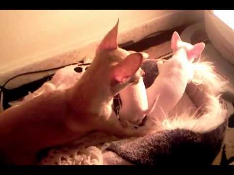 Chihuahua Dog Teaches Her Puppies To Fight - Natural Instinct