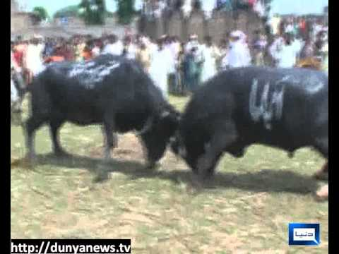 Dunya News-23-04-2012-Bull Fighting in Gujranwala
