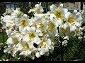 Секреты выращивания лилий