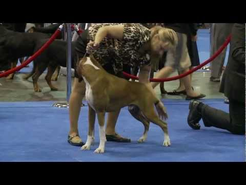 Boxers - 2011 Eukanuba National Championship
