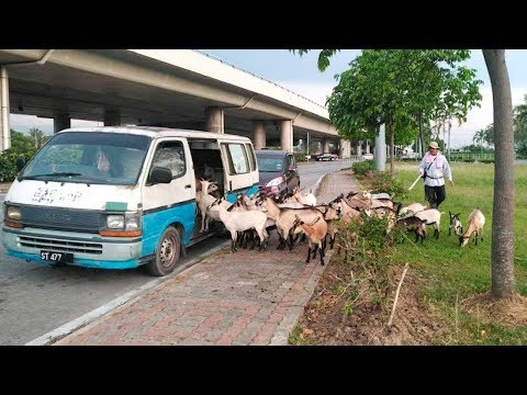 Oh my goat!: Video of KK goats queuing to board van goes viral