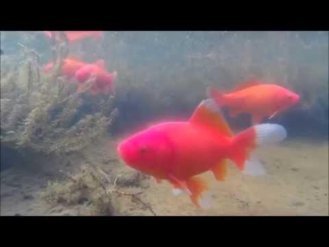 Action Cam QUMOX @ SJ4000 Unterwasser-Test Gartenteich (720p)