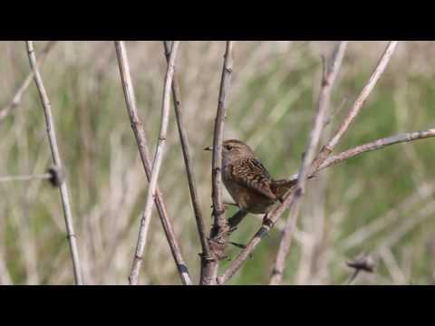 Sedge Wren song