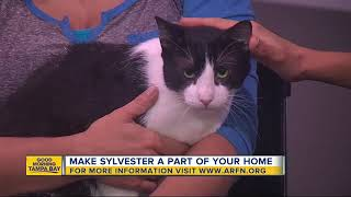 Pet of the week: Sweet Sylvester is a perfect lap cat seeking fur-ever home