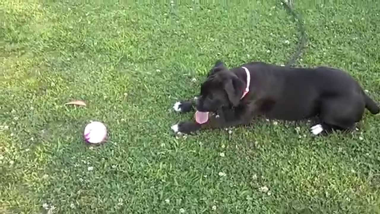 Black (sealed/reverse brindle) boxer 4 months - YouTube