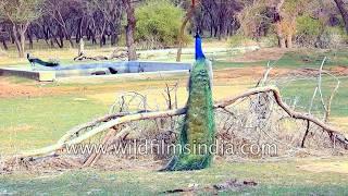 Nature's beautiful creation: Peacock presents a strikingly beautiful appearance