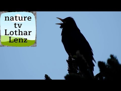 Gesang der Amsel / Blackbird singing in the last evening light