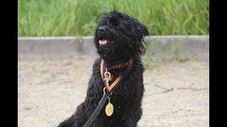 Abel - Hungarian Street Dog - 3 Weeks Residential Dog Training
