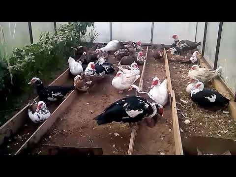 Мускусные утки. Во сколько начинают нести яйца?