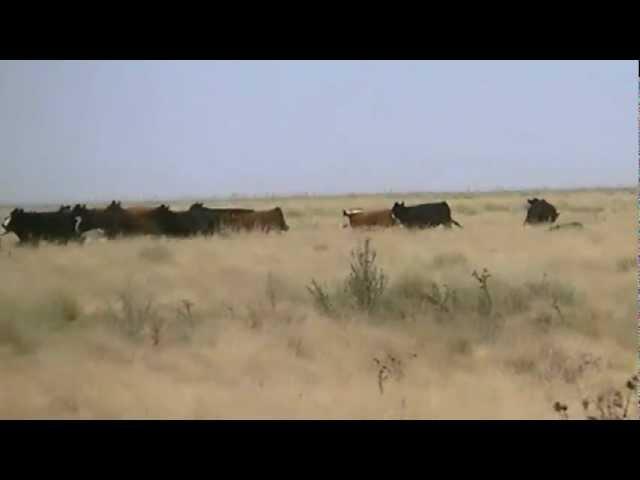 cazando avestrucez con galgos en olavarria