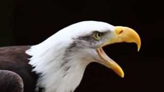 Call of a Bald Eagle