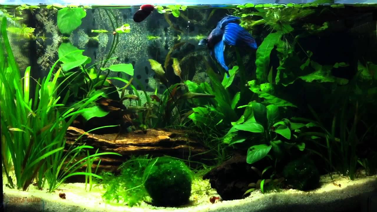 Betta splendens caridina multidentata 25 litres 7 for Aquarium boule 20 litres