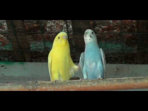 Loving Moments Of Love Birds (1080p Hd) video