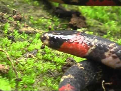 False Coral Snake In Rio Bigal Nature Preserve in Ecuad