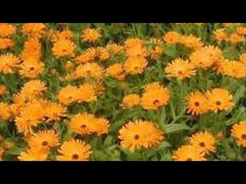 Aceite de caléndula-pieles secas, eccema, psoriasis. Marigold oil-dry skin, eczema & psoriasis.