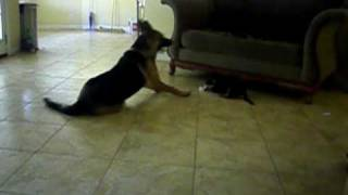 German Shepherd puppy playing with mom