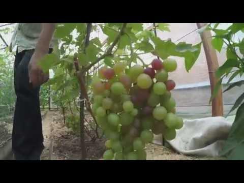 Виноград в теплице – секреты выращивания доступные каждому
