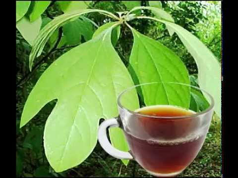 Sassafras Leaf Tea Health Benefits