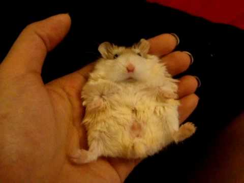 Roborovski hamster sleeping on her back - YouTube