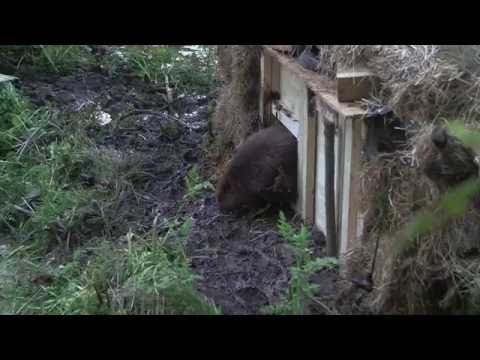 2 new beavers are released at secret East Devon location