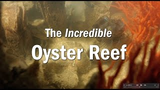 The Incredible Oyster Reef