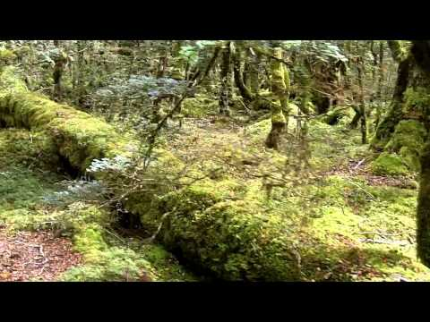 Un bosco incantato della Nuova Zelanda (An enchanted forest in New Zealand)