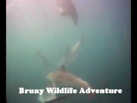 Bruny Wildlife Adventure VideoRay ROV Footage - Dolphin Compilation