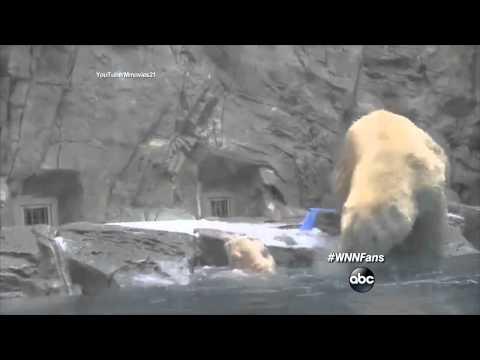 Mama Polar Bear Rescues Cub Who Can't Swim