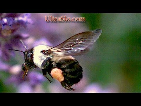 Bee in flight with pollen in slow motion