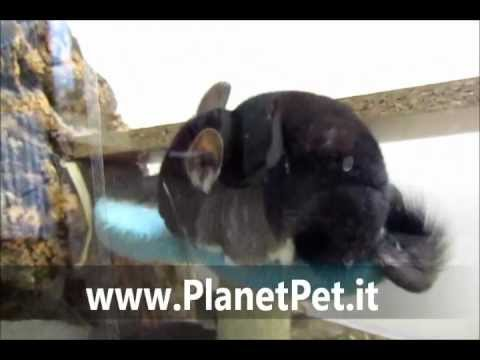 Cincilla Black Velvet – www.PlanetPet.it