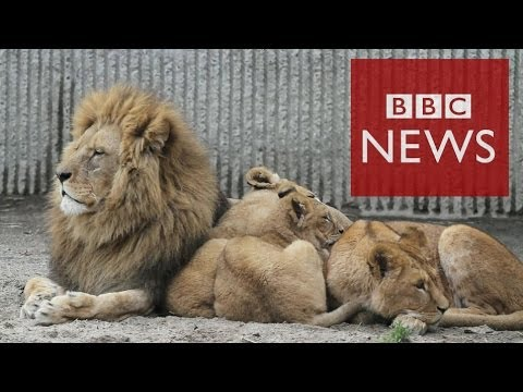 Why did the Danish zoo kill 4 lions? BBC News
