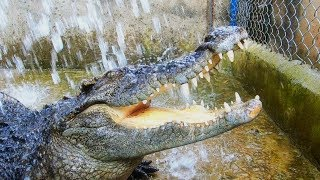 Cá sấu thư giãn, sửa lại chuồng cho cá sấu
