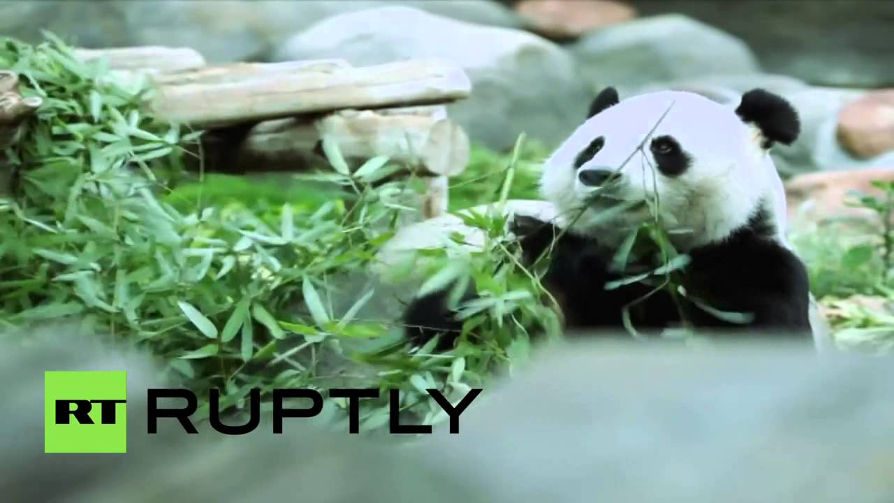 World's oldest giant panda in captivity is 100 in human years