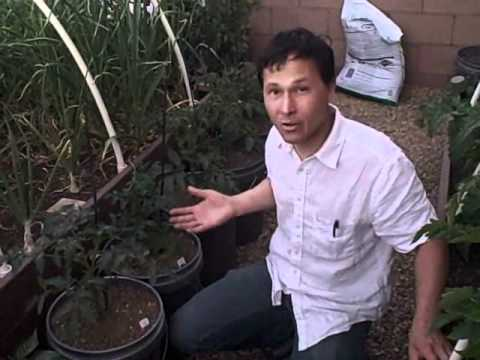 Growing Food in a Home Garden Successfully in the Las Vegas Desert